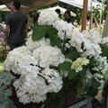 0419 - Hortensia blanc jardin d'Albertas 26 mai