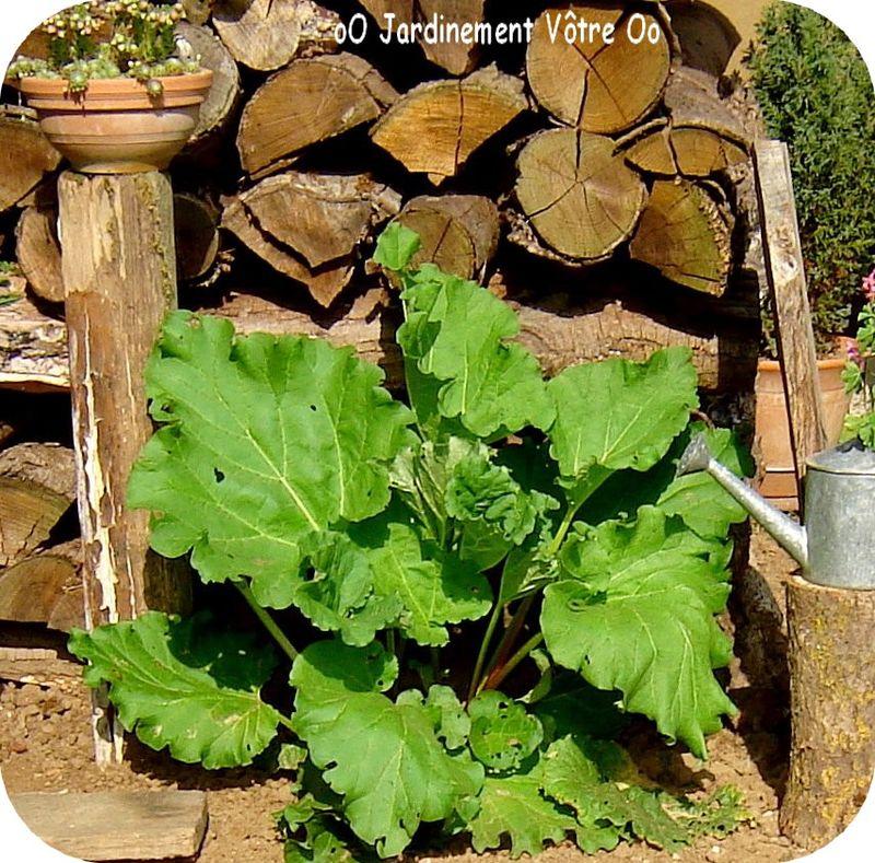 rhubarbe aussit t r colt e aussit t consomm e jardinement v tre. Black Bedroom Furniture Sets. Home Design Ideas