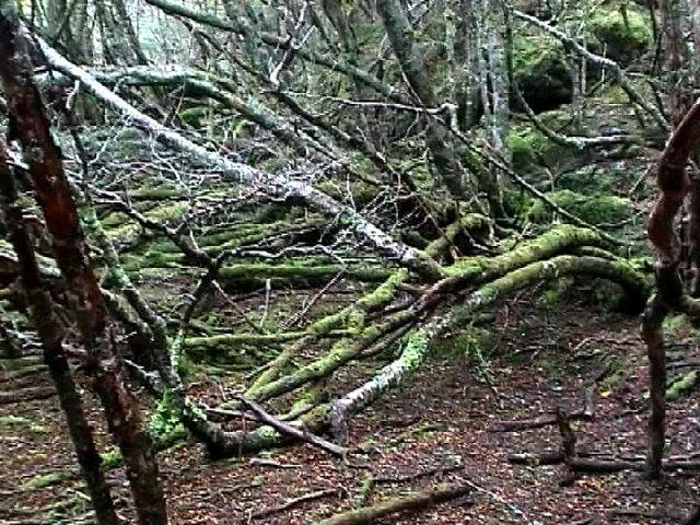 Forêt primaire de Terre de Feu