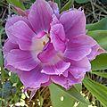 tulipes (3)