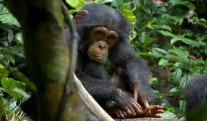 chimpanz_s5