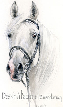 cheval arabe dessin