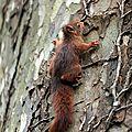 9R4A9512 l'écureuil roux sur le platane du master