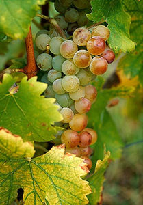 big_white_muscat_grapes