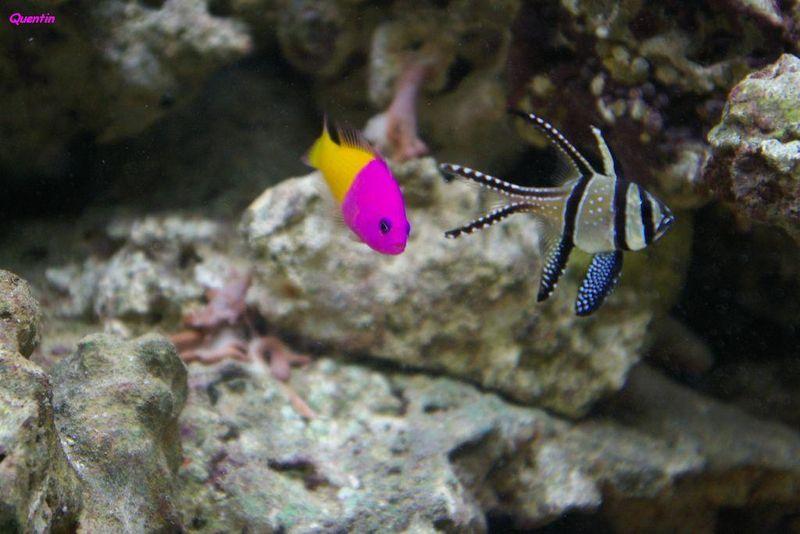 petit poisson violet et jaune truqu ou pas truqu photo max. Black Bedroom Furniture Sets. Home Design Ideas