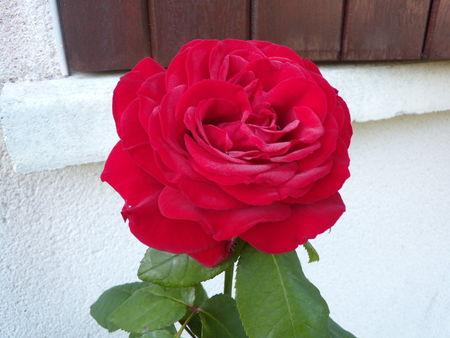 roses_006