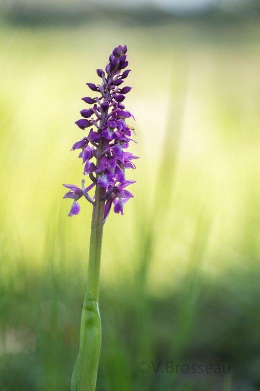 orchidée16-02