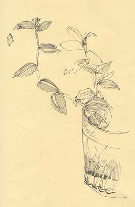 45 - Zebrina pendula 01