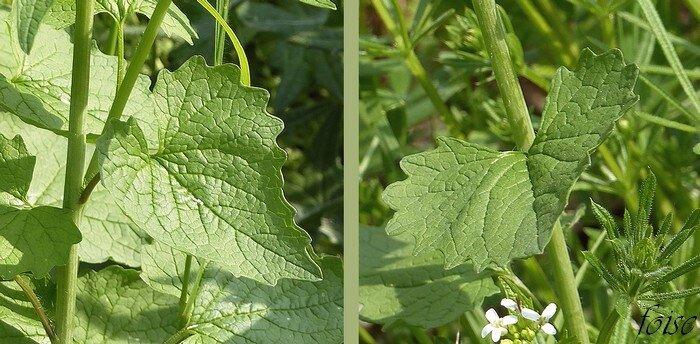 feuilles triangulaires cordées à la base luisantes profondément dentées