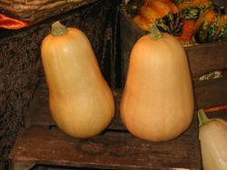 250px_Courges_butternut_01_1_