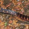 Atractus flammigerus (juvénile)