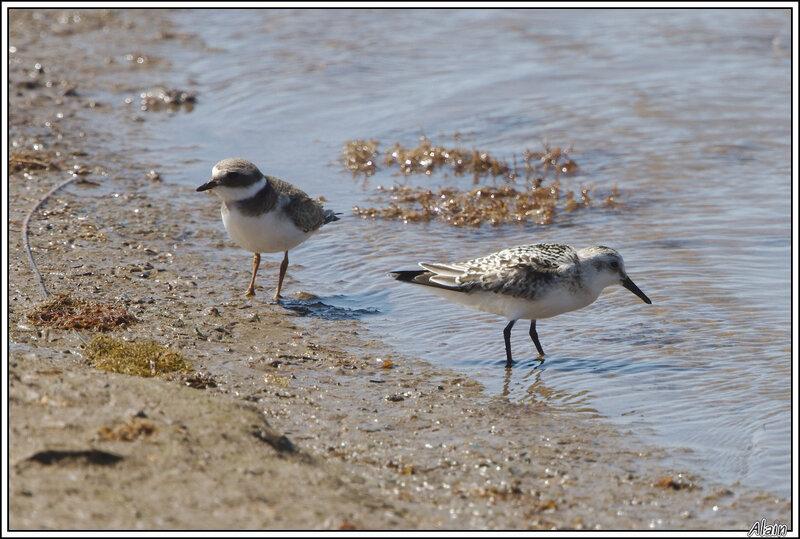 Grand Gravelot et Bécasseau sanderling...deux espèces différentes mais qui semblent bien s'entendre...