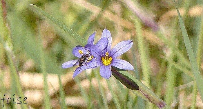 Inflorescence terminale de 1-4 fleurs