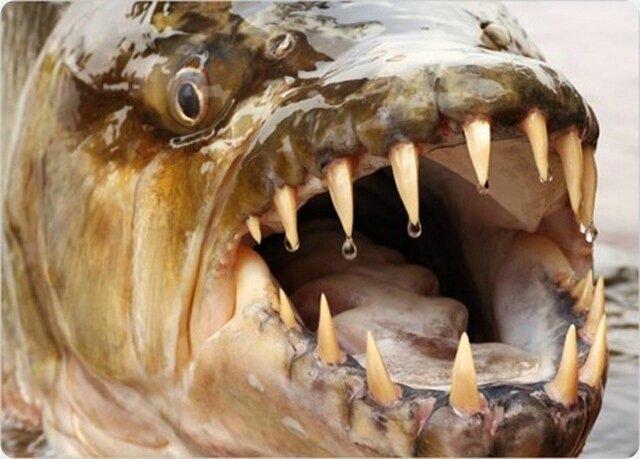 poisson tigre goliath