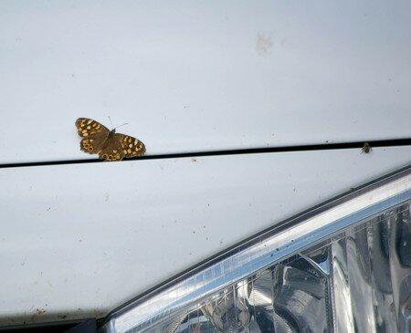 papillon_sur_m_gane