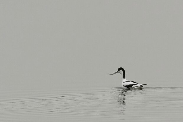 avocetteNB