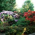 La pépinière, floraison des rhododendrons et azalées