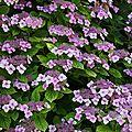 Hydrangeas_12 07 07_2898