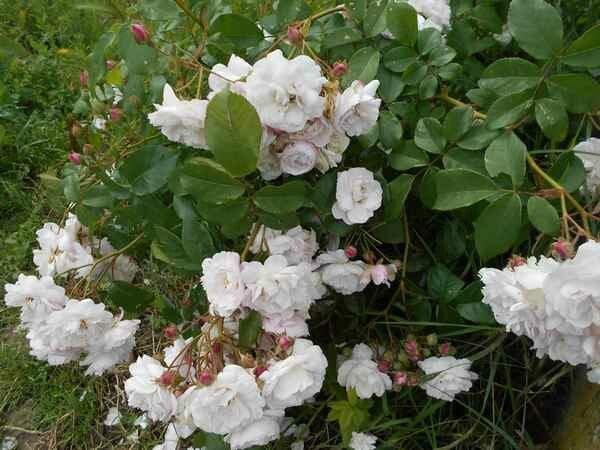 multiflore de vaumarcus