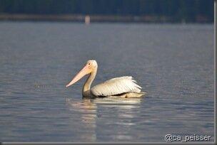 pt_pelican_blanc_almanore