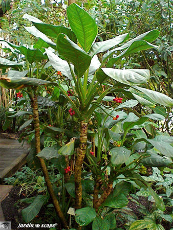 CIMG1427_Aglaonema