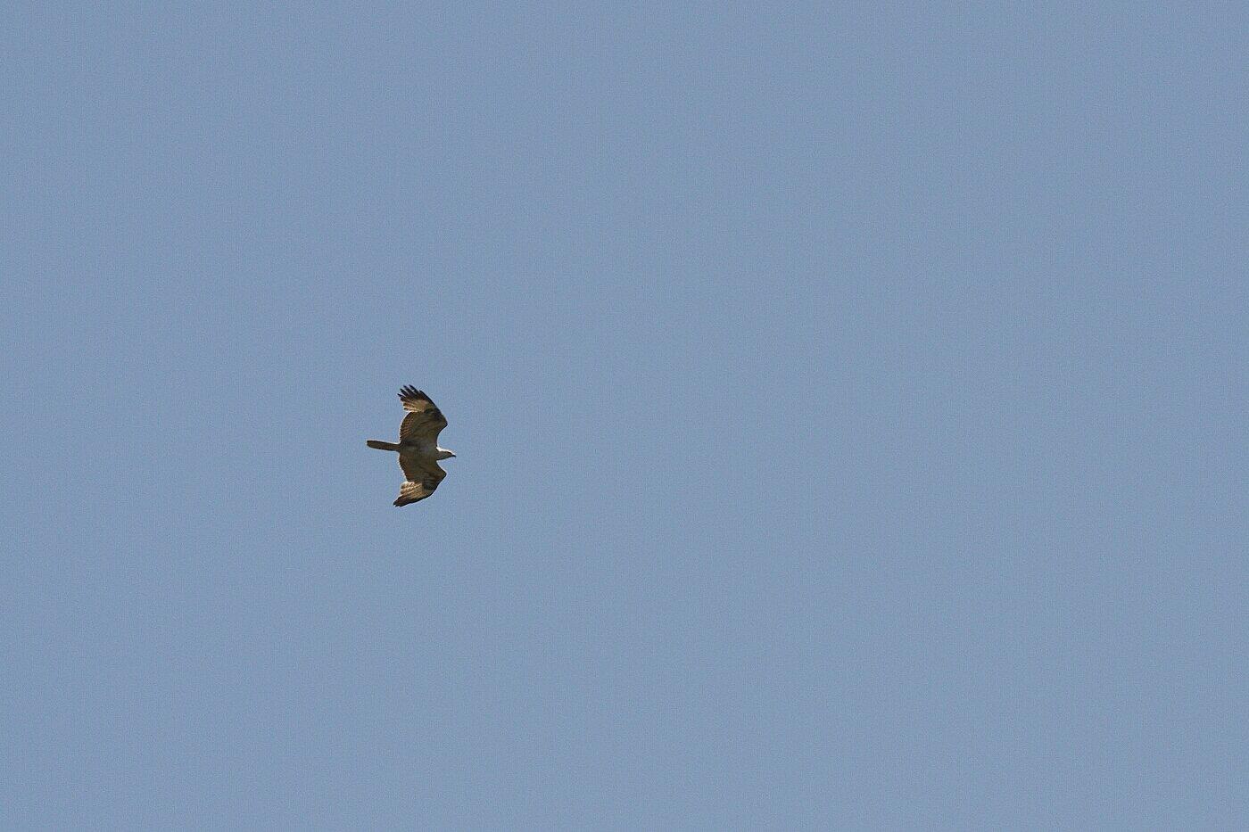 Lesbos oiseaux 27 - rapace...
