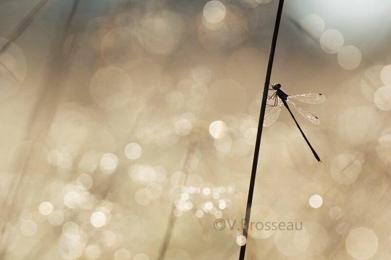 libellule-contre-jour