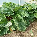rhubarbe - www.passionpotager.canalblog.com