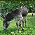 Ane (Equus Asinus)