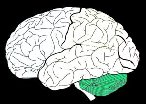 Copie_de_800px_Lobes_of_the_brain_NL_svg
