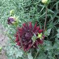 2008 08 10 Un dalhias en fleur