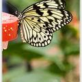 IB7L2756 - Papillon