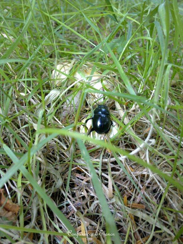 Le scarabée gourmand