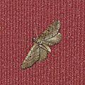 Eupithecia intricata (L'Eupithécie embrouillée)
