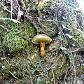 Cèpe noir sur son arbre-hôte (un chêne...)