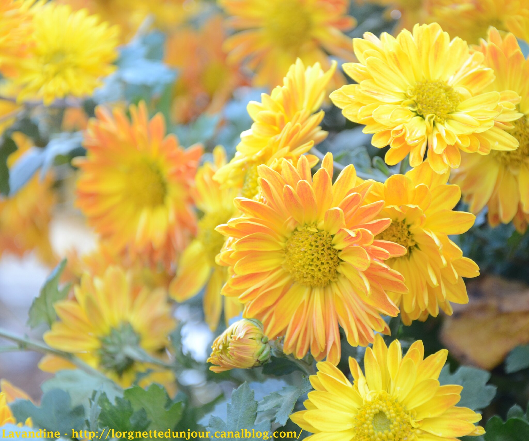 02/12/13 : Chrysanthema 2013