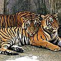 La tigresse du zoo de naples (italie) a été transférée