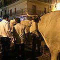 Bœufs originaires de la Basilicata