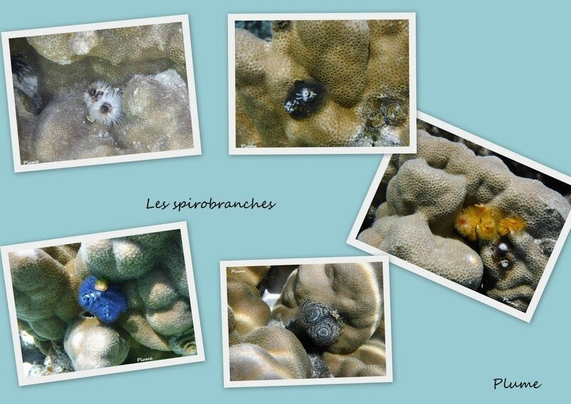 Spirobranche