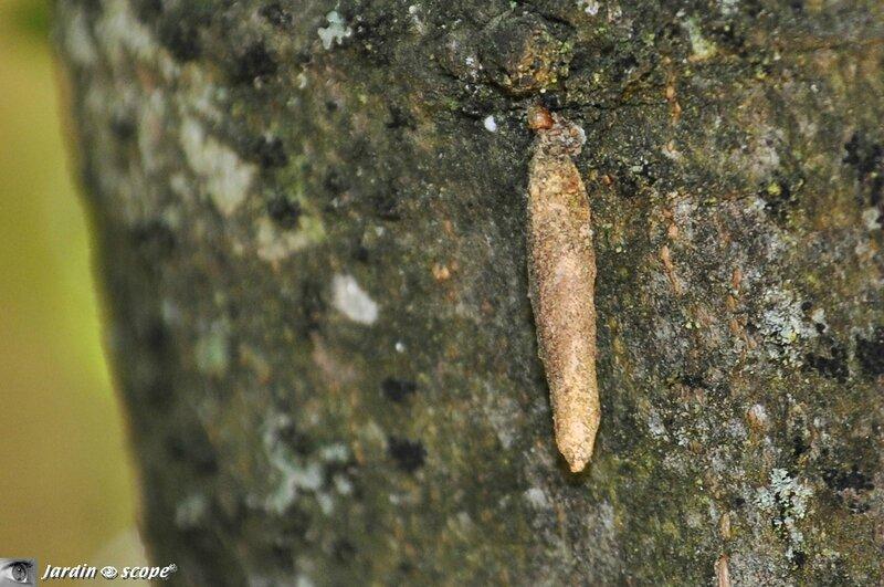 Taleporia tubulosa femelle dans son fourreau larvaire