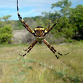 Argiope argentata - martinique
