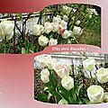 tulipes 2015_03_4