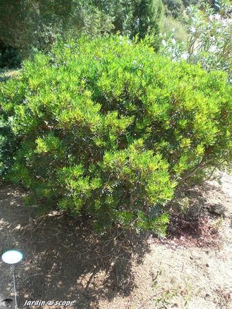 Ciste à feuille de sauge • Cistus salviifolius