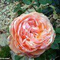 Rose 'Parfum d'Orléans'