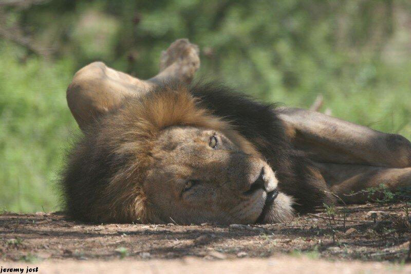 lion (1)