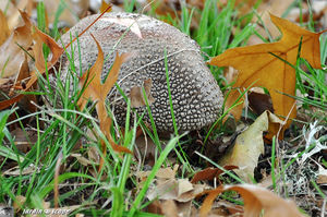 Amanite rougissante - Amanita rubescens
