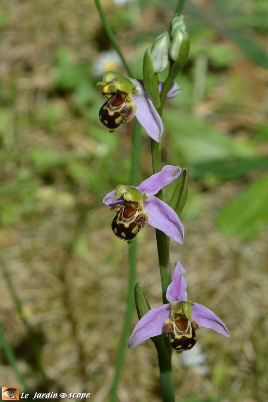 Ophrys 2
