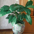 Le Spathiphyllum participe  la purification de l