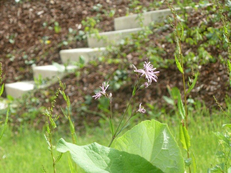 fleur de coucou 052015B