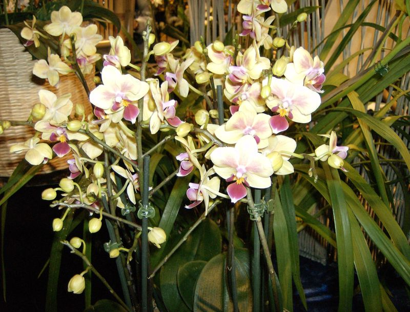 orchidées 2010 006